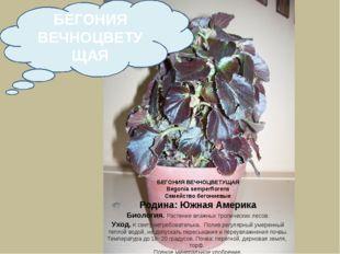 БЕГОНИЯ ВЕЧНОЦВЕТУЩАЯ Begonia semperflorens Семейство бегониевые Родина: Южна