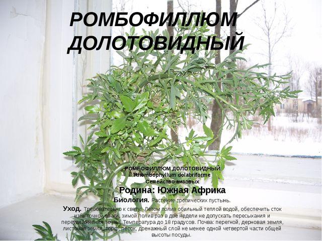РОМБОФИЛЛЮМ ДОЛОТОВИДНЫЙ РОМБОФИЛЛЮМ ДОЛОТОВИДНЫЙ Rhombophyllum dolabriforme...