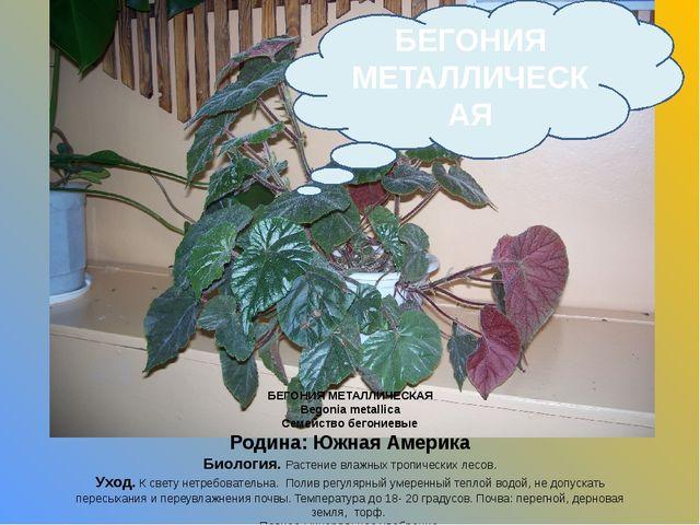 БЕГОНИЯ МЕТАЛЛИЧЕСКАЯ Begonia metallica Семейство бегониевые Родина: Южная Ам...