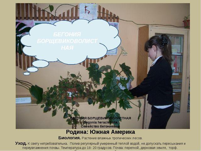 БЕГОНИЯ БОРЩЕВИКОВОЛИСТНАЯ Begonia heracleifolia Семейство бегониевые Родина:...