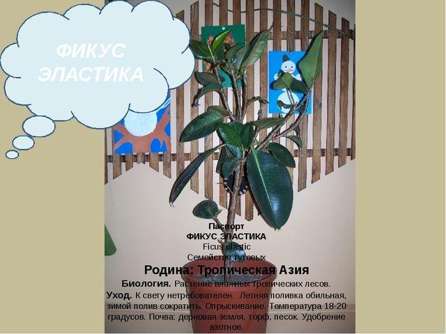 Паспорт ФИКУС ЭЛАСТИКА Ficus elastic Семейство тутовых Родина: Тропическая Аз...