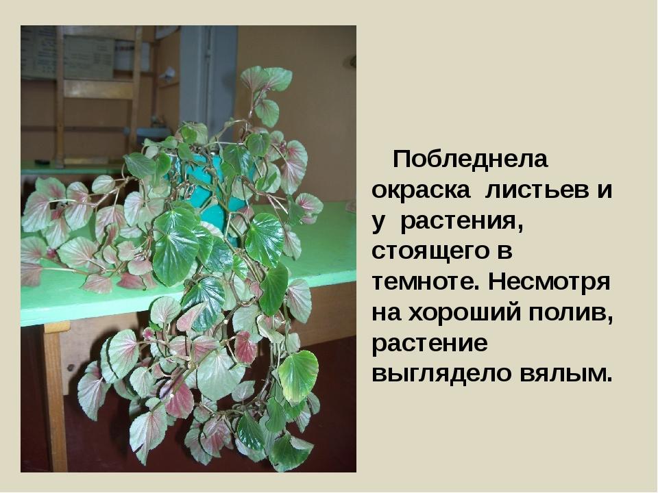 Побледнела окраска листьев и у растения, стоящего в темноте. Несмотря на хор...