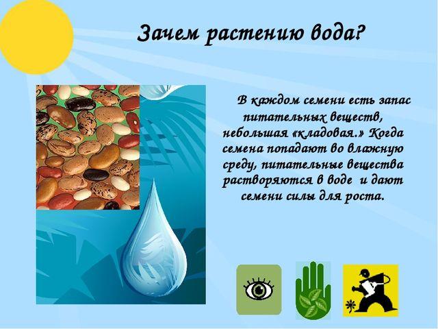 Зачем растению вода? В каждом семени есть запас питательных веществ, небольш...
