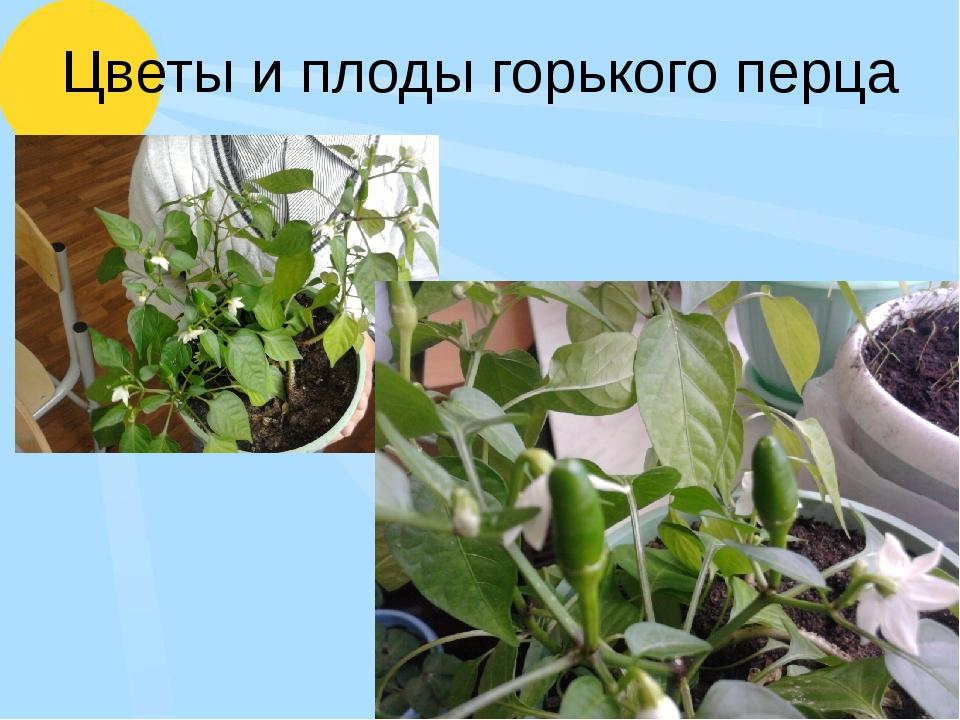 Цветы и плоды горького перца