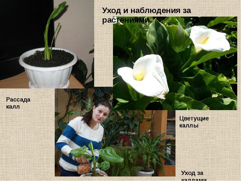 Уход за каллами цветами в домашних условиях