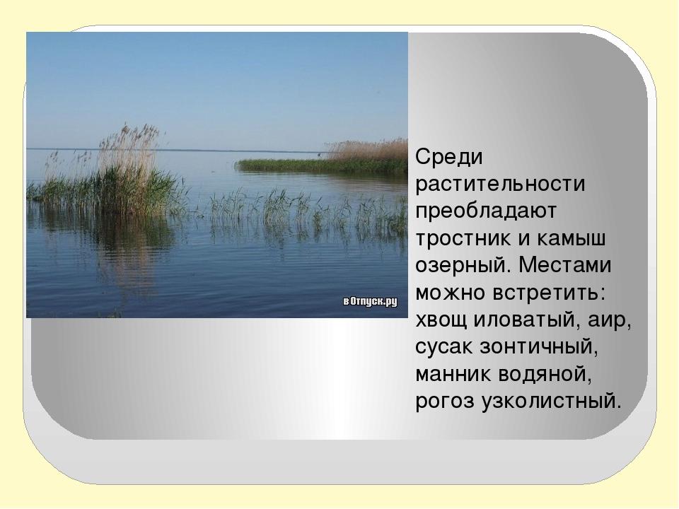 Среди растительности преобладают тростник и камыш озерный. Местами можно вст...