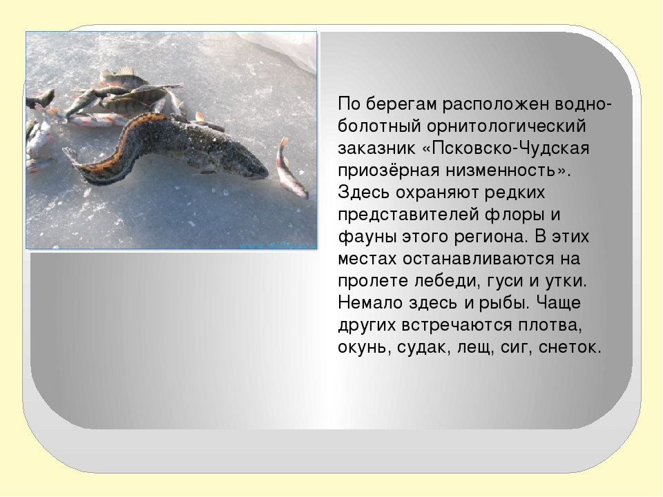 По берегам расположен водно-болотный орнитологический заказник «Псковско-Чуд...