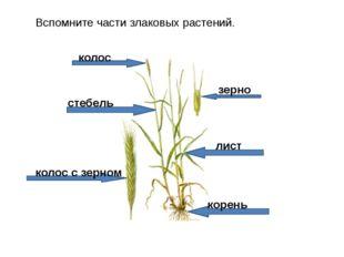 Вспомните части злаковых растений. стебель лист корень колос колос с зерном з