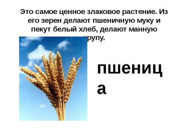 Это самое ценное злаковое растение. Из его зерен делают пшеничную муку и пеку...