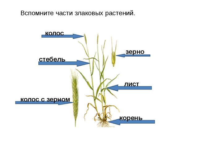 Вспомните части злаковых растений. стебель лист корень колос колос с зерном з...
