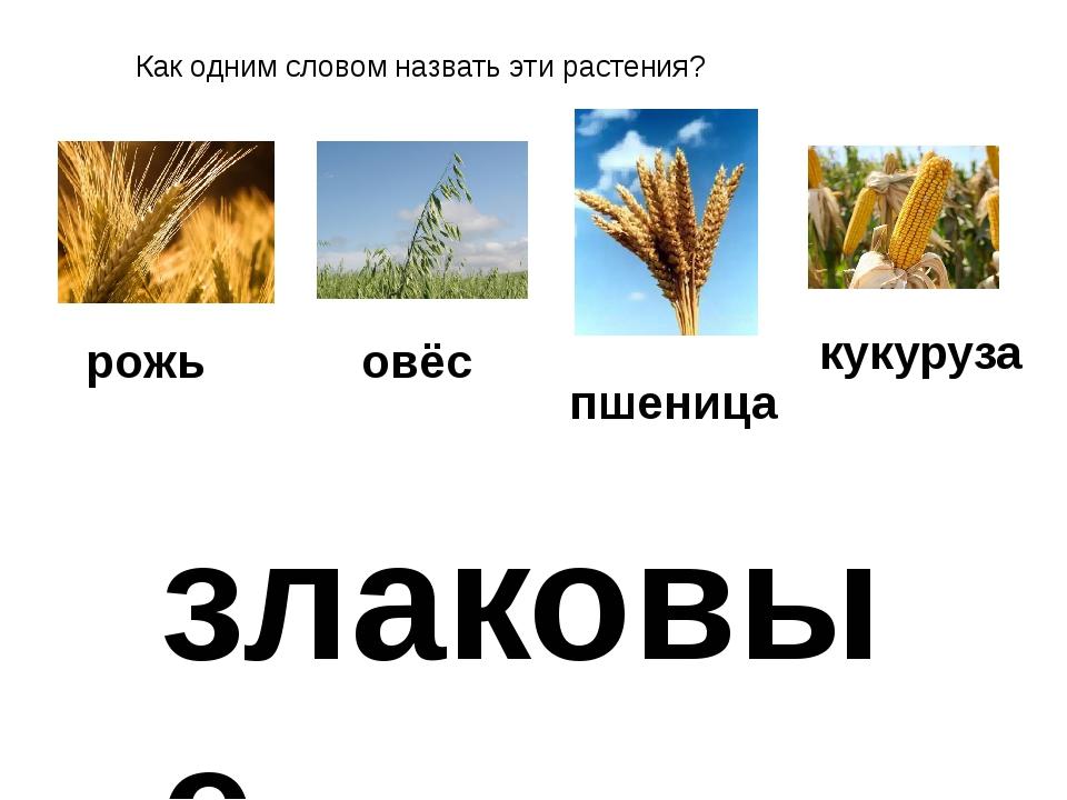 Как одним словом назвать эти растения? рожь овёс пшеница кукуруза злаковые