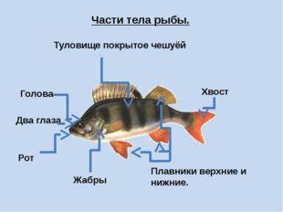 Части тела рыбы. Туловище покрытое чешуёй Голова Два глаза Рот Жабры Плавники