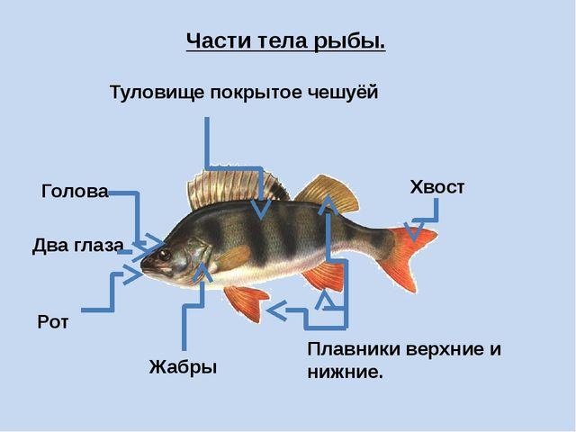 Части тела рыбы. Туловище покрытое чешуёй Голова Два глаза Рот Жабры Плавники...