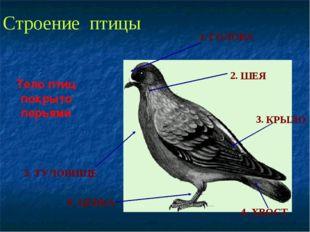 Строение птицы 1. 2. 3. 4. 5. 6. ГОЛОВА ШЕЯ КРЫЛО ХВОСТ ТУЛОВИЩЕ ЦЕВКА Тело п