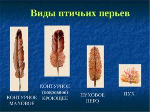 Виды птичьих перьев КОНТУРНОЕ МАХОВОЕ КОНТУРНОЕ (покровное) КРОЮЩЕЕ ПУХОВОЕ П