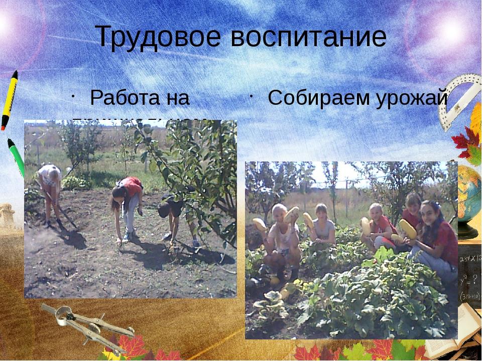 Трудовое воспитание Работа на пришкольном участке Собираем урожай