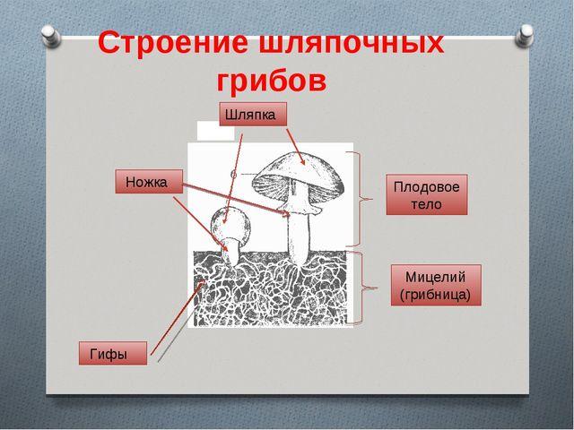 Шляпка Ножка Плодовое тело Мицелий (грибница) Гифы Строение шляпочных грибов