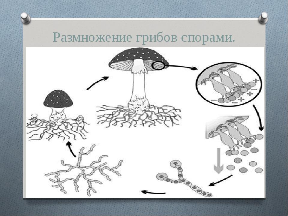 Размножение грибов спорами. спорами
