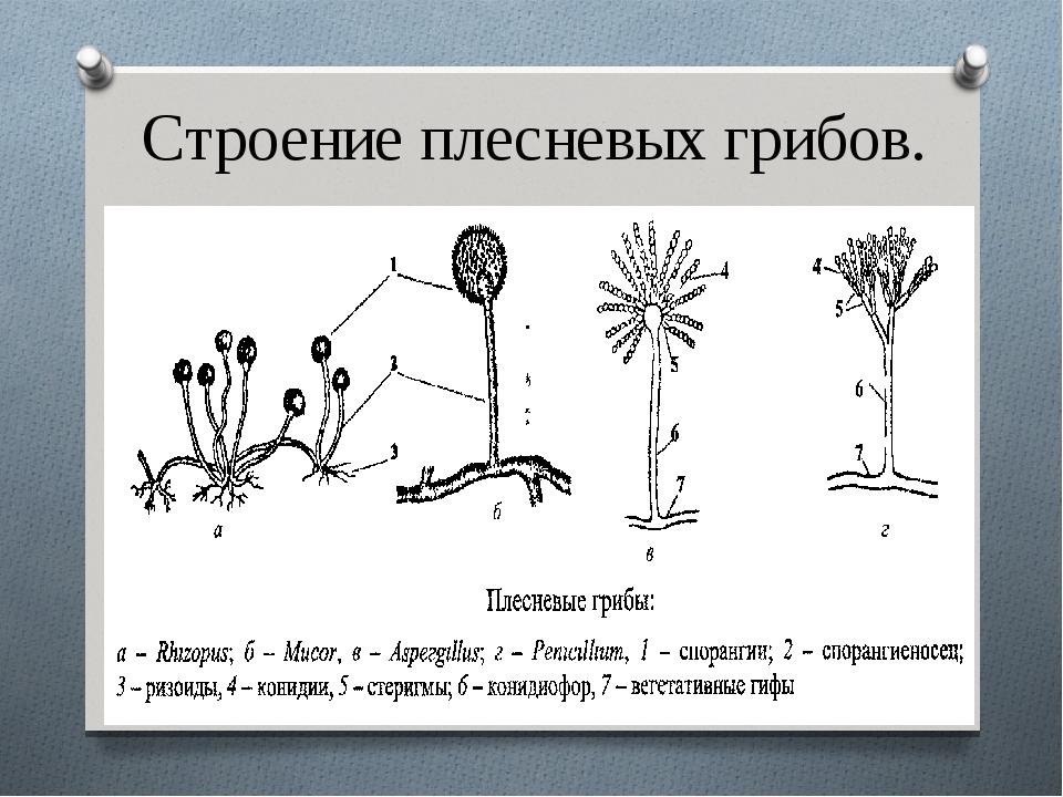 Строение плесневых грибов.
