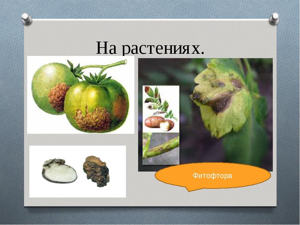 На растениях. Фитофтора Фитофтора