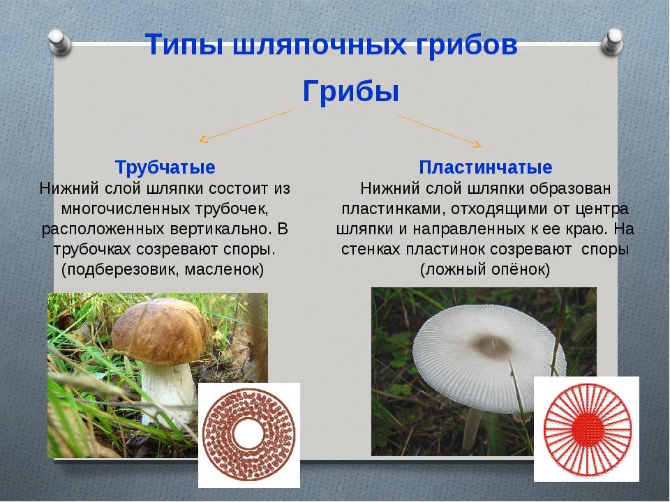 виды трубчатых грибов фото и описание сунной является
