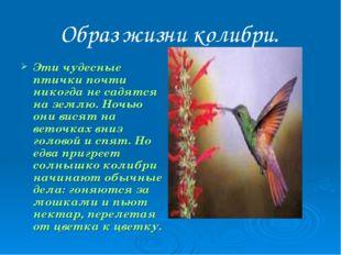 Образ жизни колибри. Эти чудесные птички почти никогда не садятся на землю. Н
