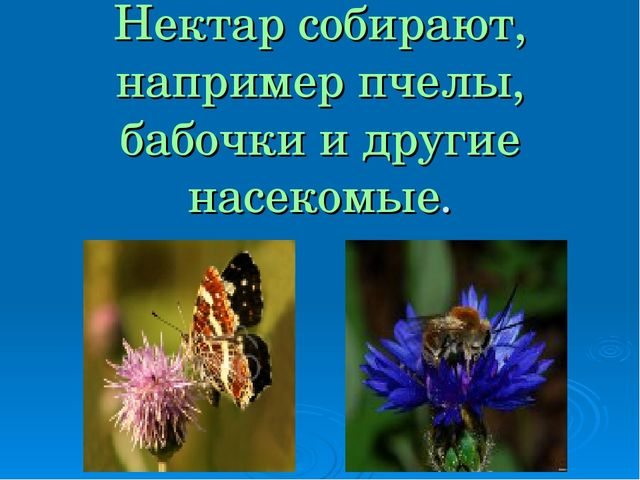 Нектар собирают, например пчелы, бабочки и другие насекомые.