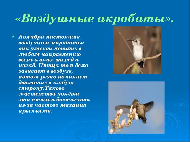 «Воздушные акробаты». Колибри настоящие воздушные акробаты: они умеют летать...
