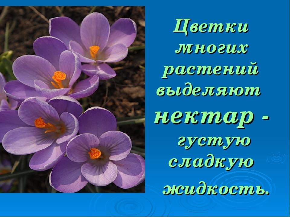 Цветки многих растений выделяют нектар - густую сладкую жидкость.