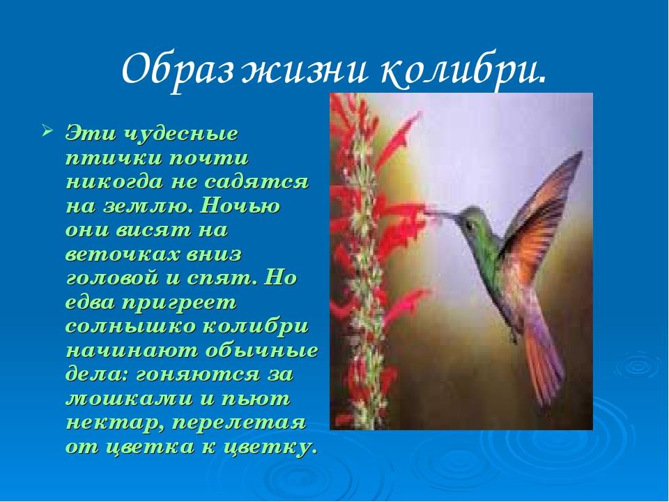 Образ жизни колибри. Эти чудесные птички почти никогда не садятся на землю. Н...