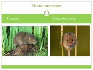 Полевка Мышь-малютка Млекопитающие