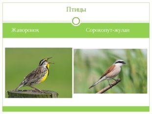 Жаворонок Сорокопут-жулан Птицы