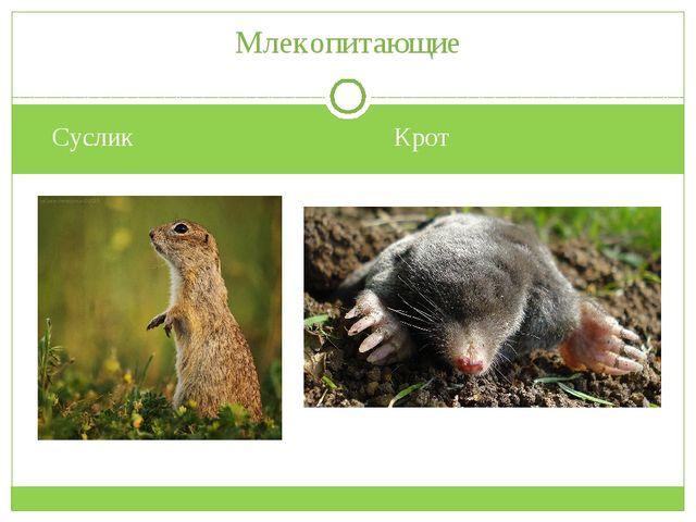 Суслик Крот Млекопитающие