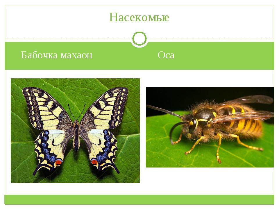 Бабочка махаон Оса Насекомые