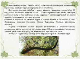 Большой сирен (лат. Siren lacertina) — хвостатое земноводное из семейства с