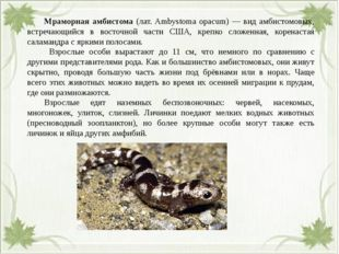 Мраморная амбистома (лат. Ambystoma opacum) — вид амбистомовых, встречающий