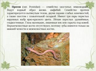 Протеи (лат. Proteidae) — семейство хвостатых земноводных. Ведут водный обр