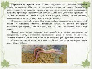 Европейский протей (лат. Proteus anguinus) — хвостатая амфибия семейства пр