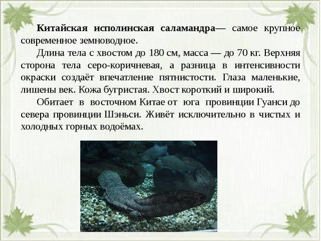 Китайская исполинская саламандра— самое крупное современное земноводное. Д...
