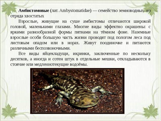 Амбистомовые (лат. Ambystomatidae) — семейство земноводных из отряда хвоста...