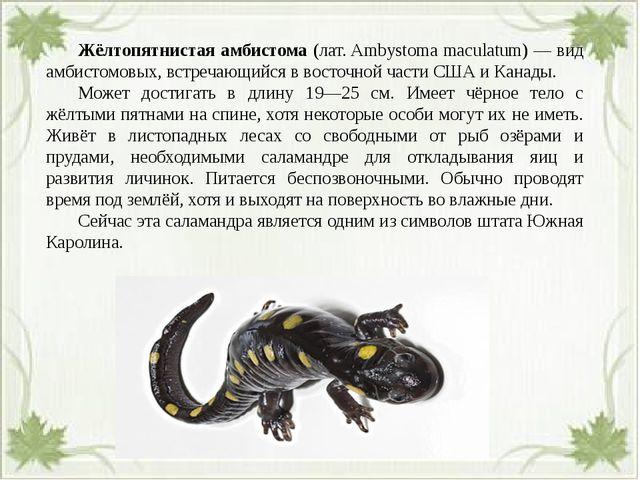 Жёлтопятнистая амбистома (лат. Ambystoma maculatum) — вид амбистомовых, вст...
