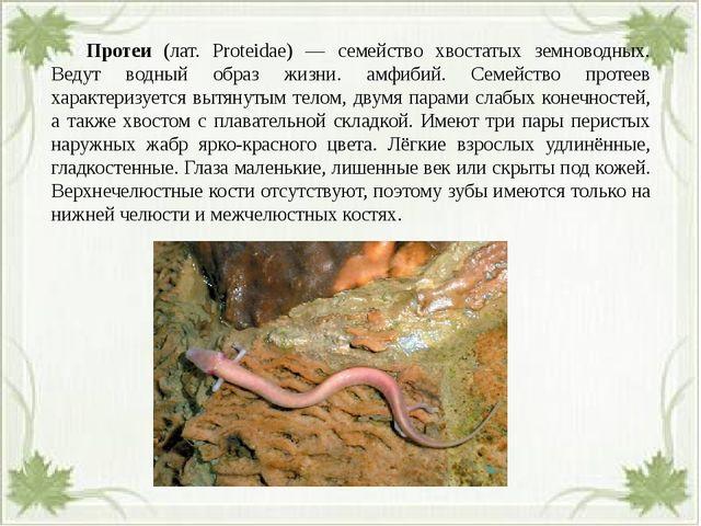 Протеи (лат. Proteidae) — семейство хвостатых земноводных. Ведут водный обр...