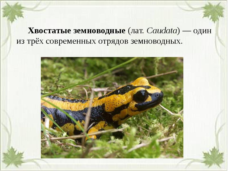 Хвостатые земноводные(лат.Caudata)— один из трёх современных отрядов зем...