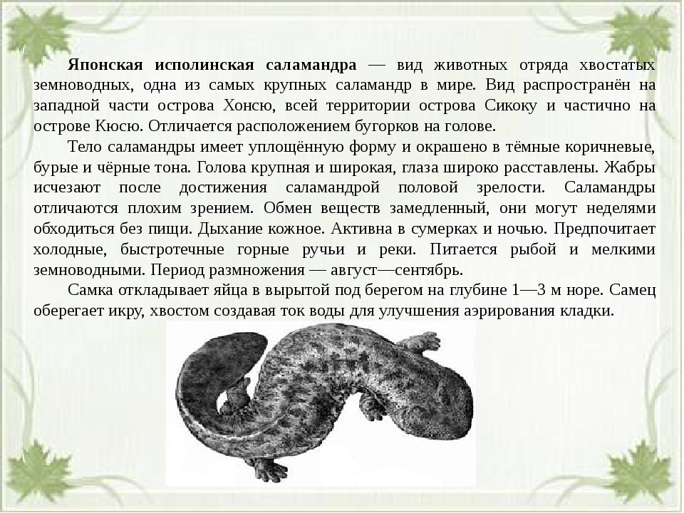 Японская исполинская саламандра — вид животных отряда хвостатых земноводных...