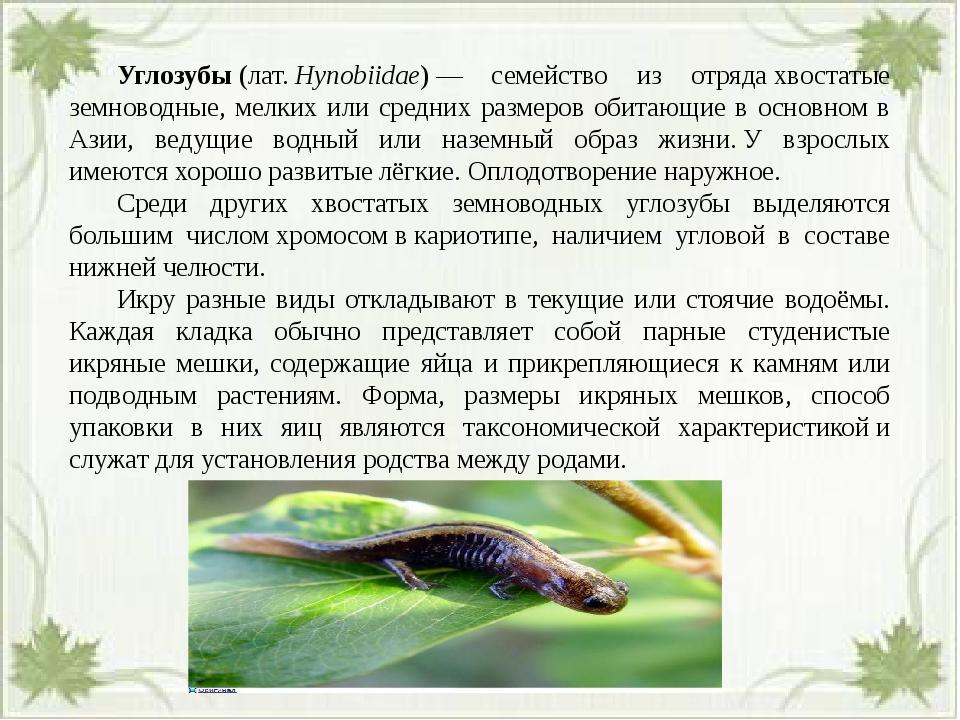 Углозубы(лат.Hynobiidae)— семейство из отрядахвостатые земноводные, мел...