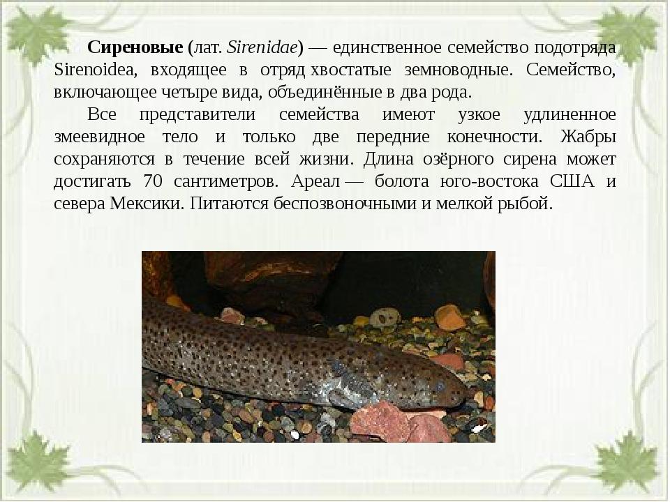 Сиреновые(лат.Sirenidae)— единственное семейство подотряда Sirenoidea, в...