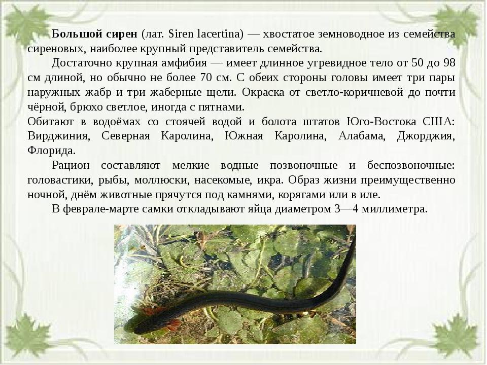 Большой сирен (лат. Siren lacertina) — хвостатое земноводное из семейства с...