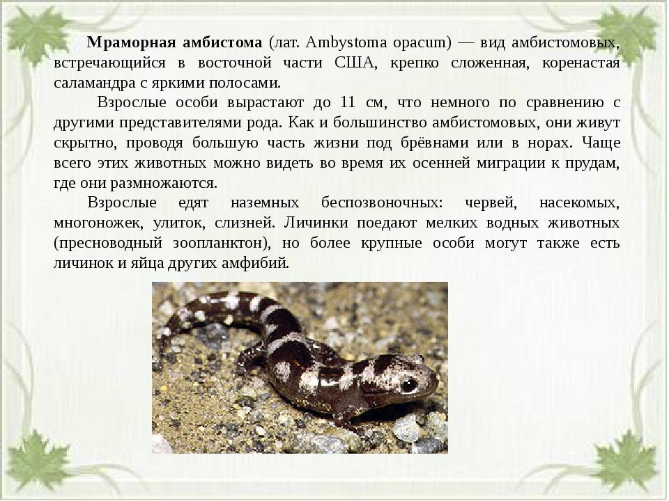 Мраморная амбистома (лат. Ambystoma opacum) — вид амбистомовых, встречающий...