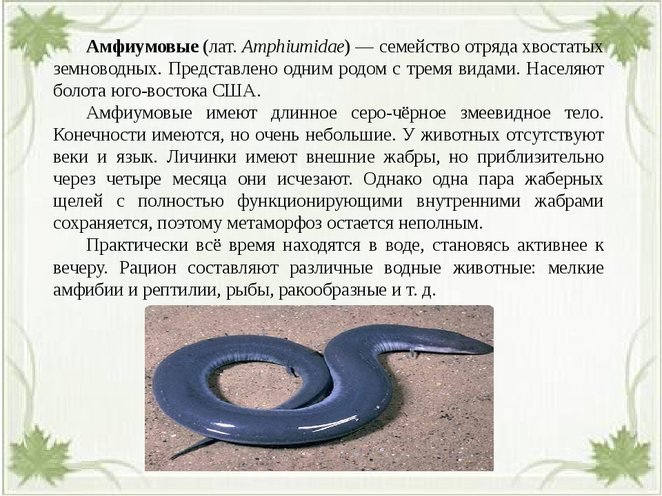 Амфиумовые(лат.Amphiumidae)— семейство отрядахвостатых земноводных. Пре...
