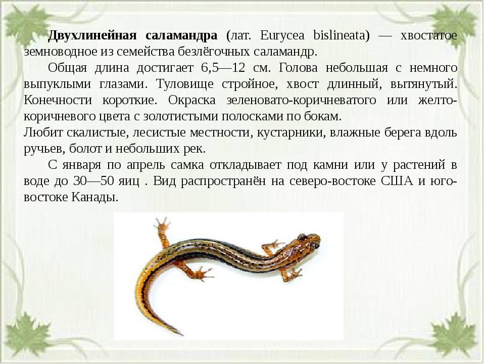Двухлинейная саламандра (лат. Eurycea bislineata) — хвостатое земноводное и...